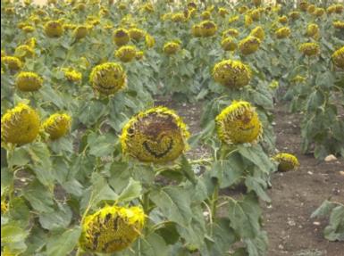 Sonnenblumensmile